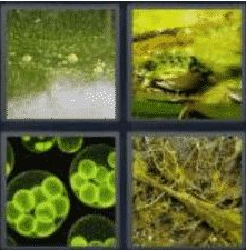 4 Pics 1 Word 5 Letter Answer algae