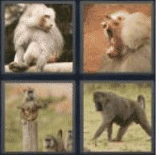 4 Pics 1 Word 6 Letter Answer baboon