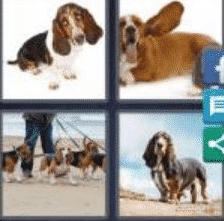 4 Pics 1 Word 6 Letter Answer basset